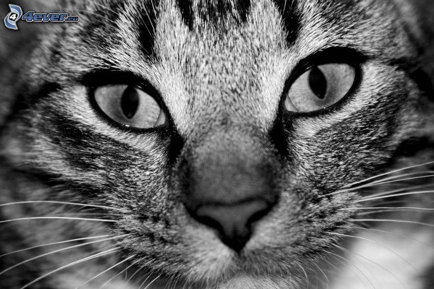 kattblick, svart och vitt