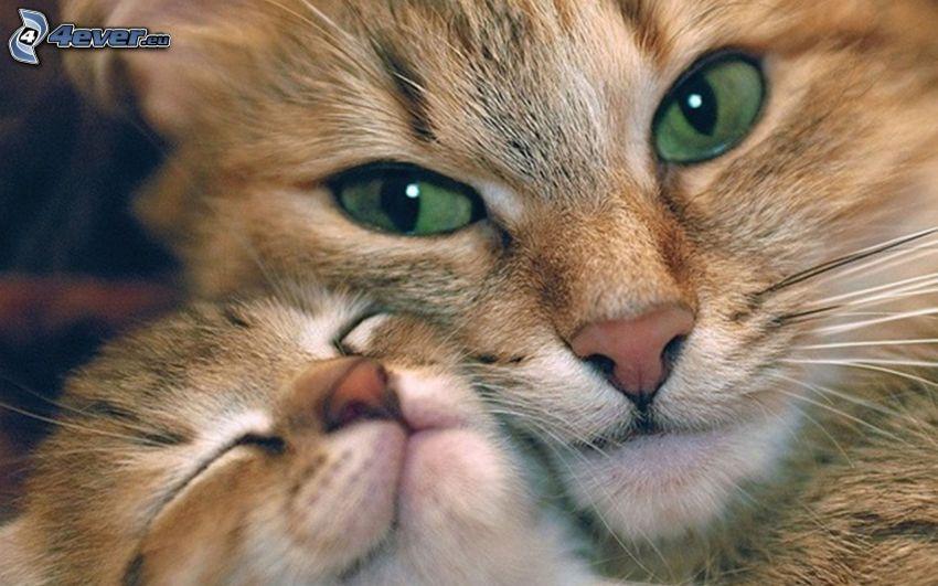 katter, brun kattunge, gröna ögon