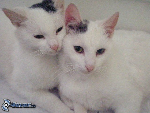 katter, kram