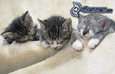 katter, sömn, filt