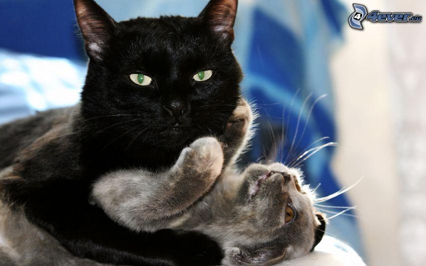 katter, svart katt, grå katt