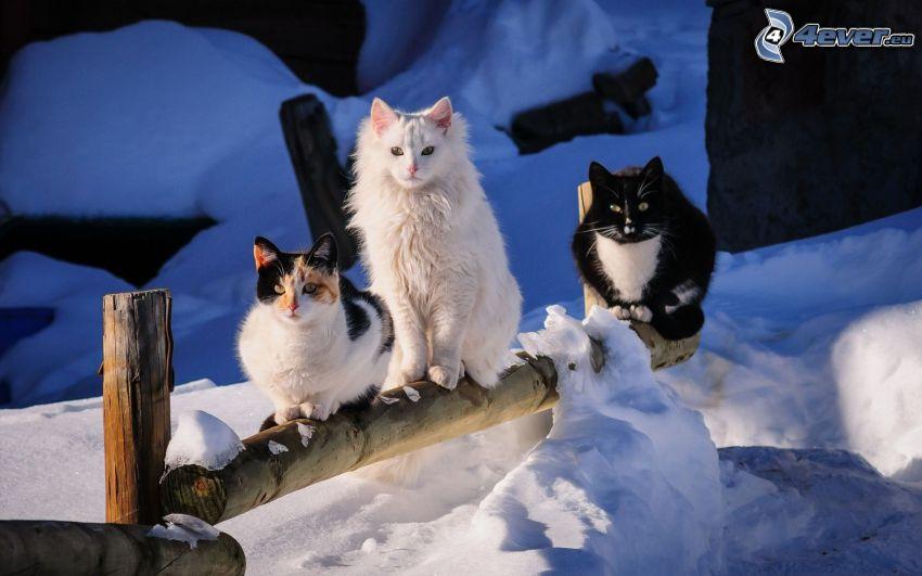 katter, trästaket, snö