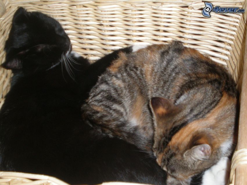 katter i korg
