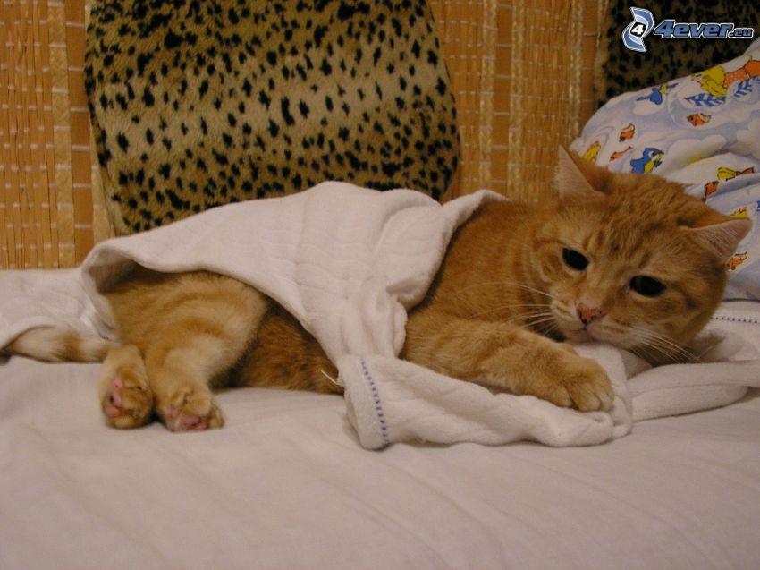 katthane, rödhårig katt, säng, slöande