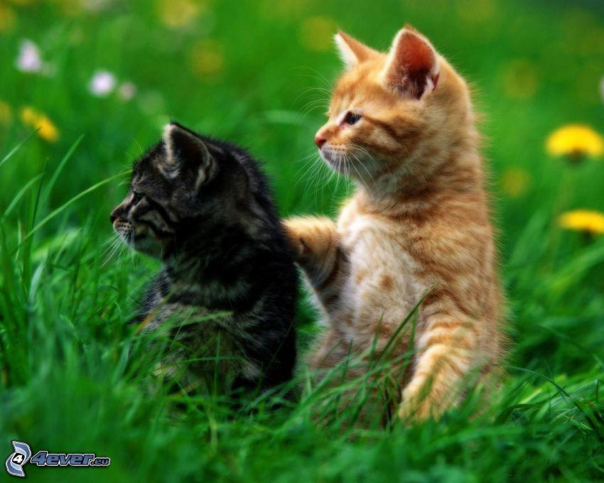 kattungar, gräs