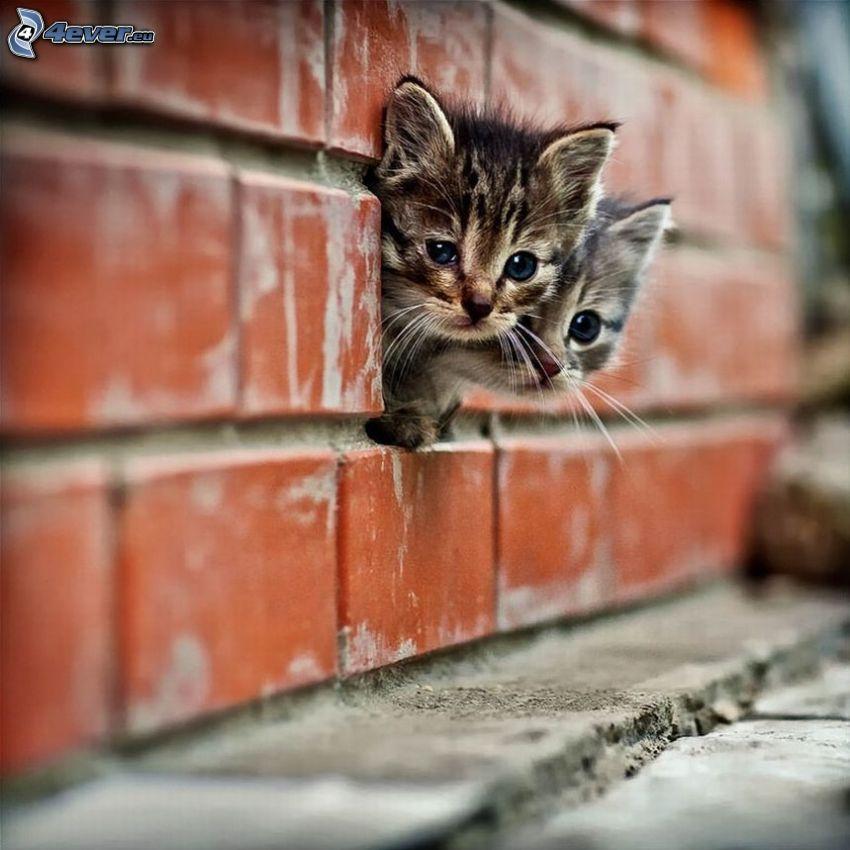 kattungar, tegelstenar, mur