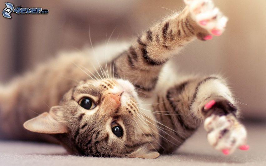 kattunge på rygg, tassar