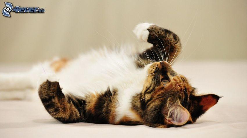 kattunge på rygg