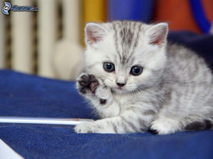 liten grå kattunge, tass
