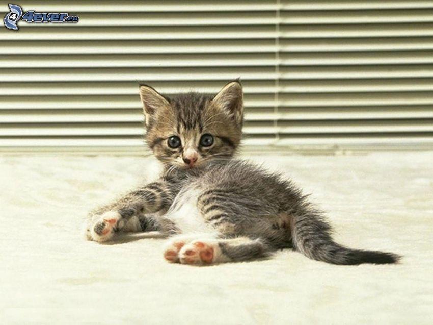 liten grå kattunge, vila