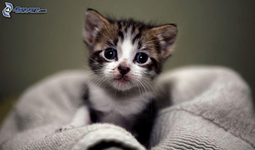liten kattunge, blå ögon
