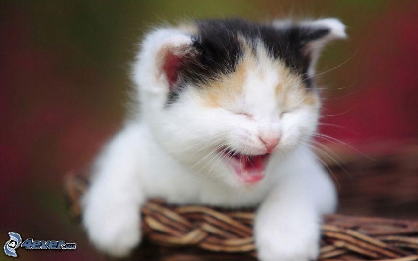 liten kattunge, gäspning