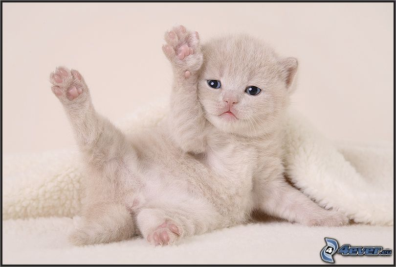 liten vit kattunge, filt, blå ögon