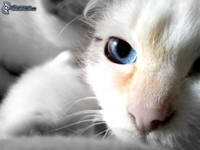 nos, liten vit kattunge, blå ögon