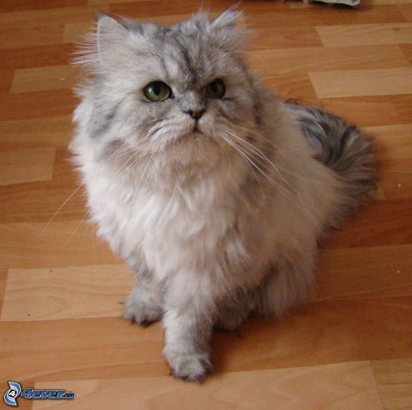 perser katt, grå katt