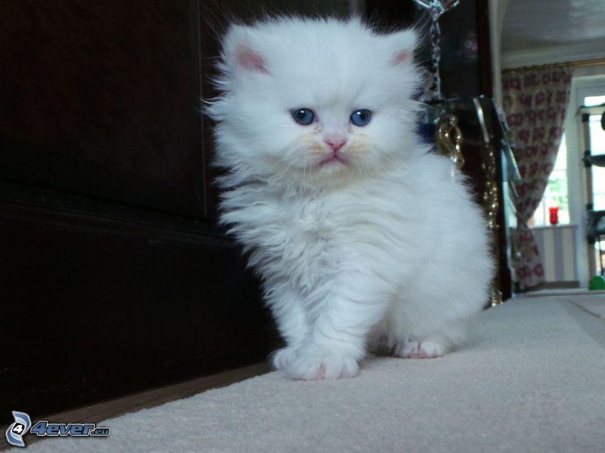 perser katt, liten vit kattunge