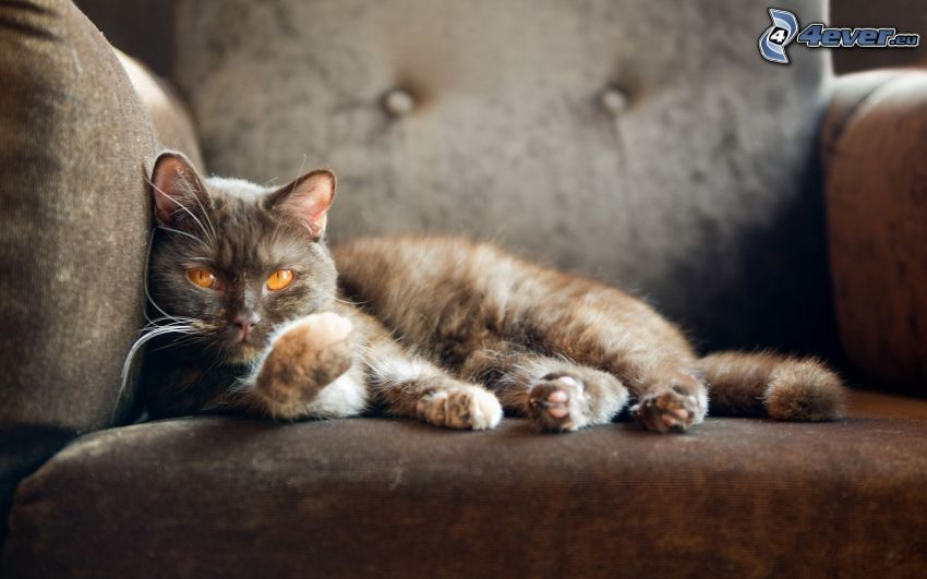 randig katt, soffa