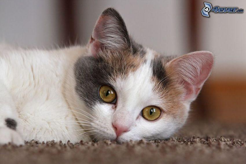 randig katt