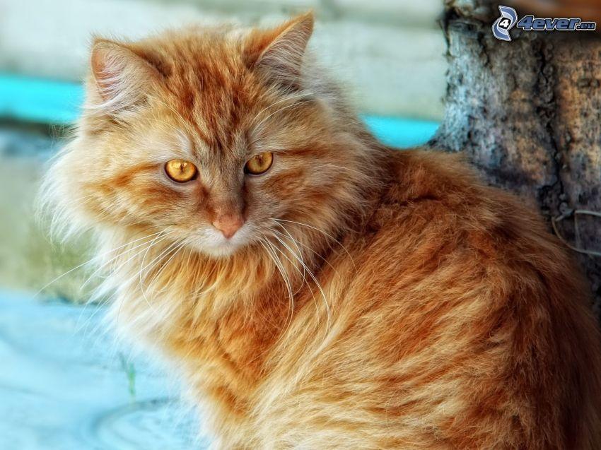 rödhårig katt, hårig katt