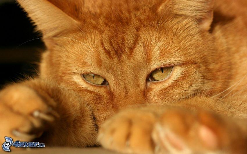 rödhårig katt, tass