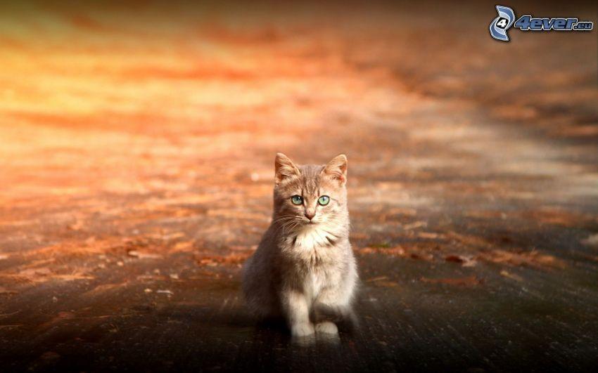 rödhårig katt