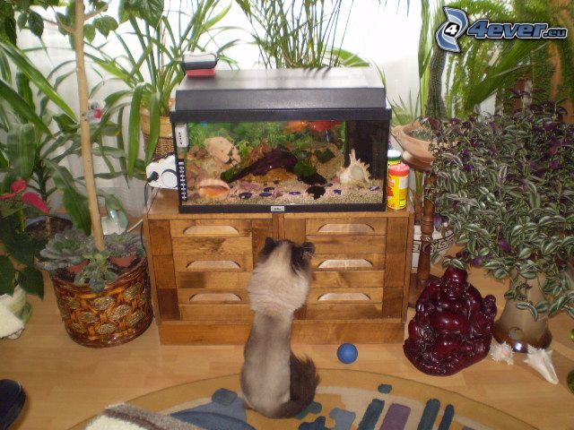 siameskatt, akvarium, fiskar, vardagsrum