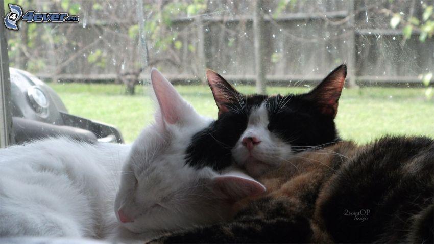 sovande katter, vit katt
