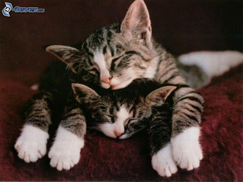sovande katter