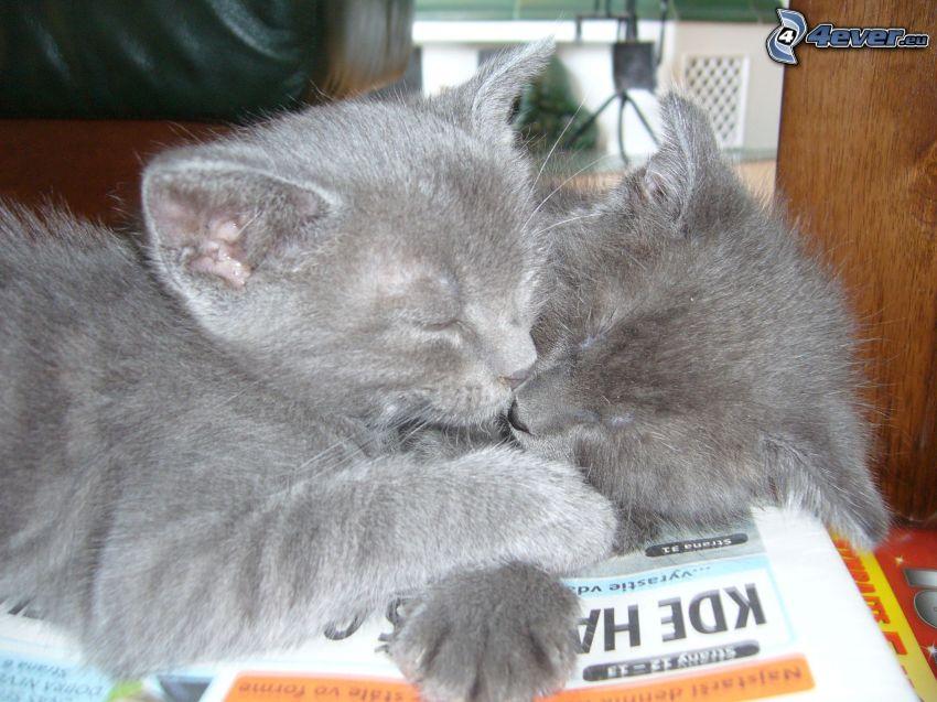 sovande kattungar, brittisk katt