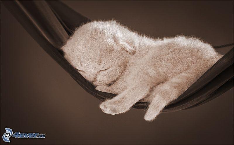 sovande kattunge, hängmatta, vila