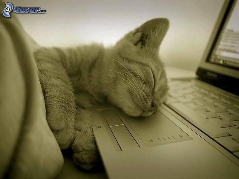 sovande kattunge, sömn, notebook