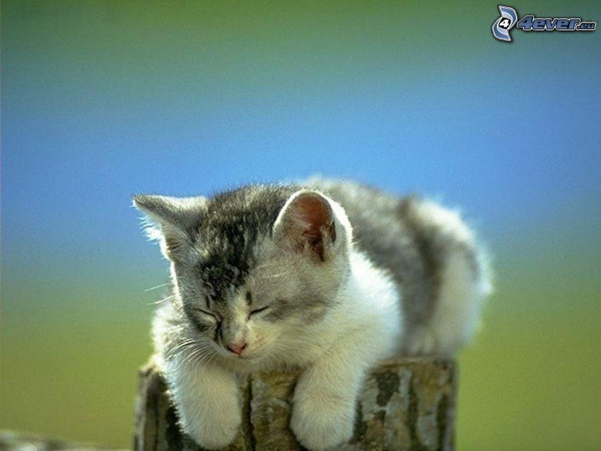 sovande kattunge, stam, sömn