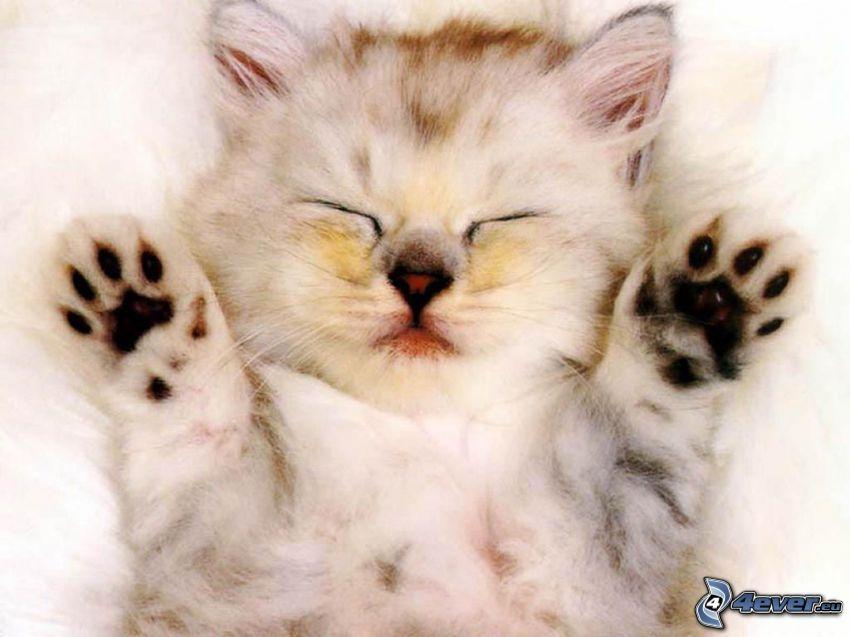 sovande kattunge, tass, nos