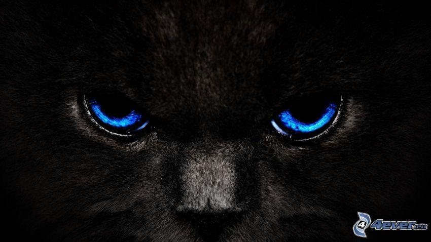 svart katt, blå ögon