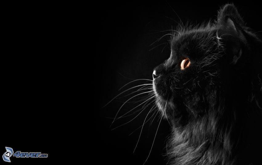 svart katt, blick