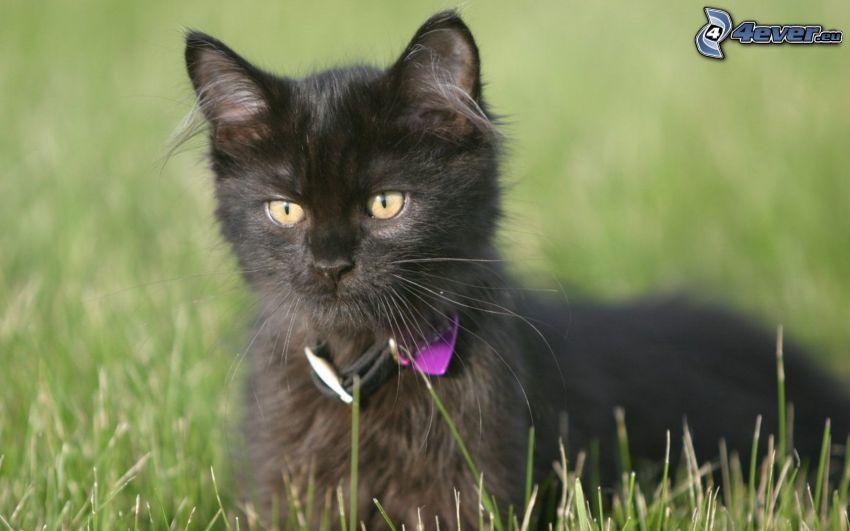 svart katt, gräs, blick