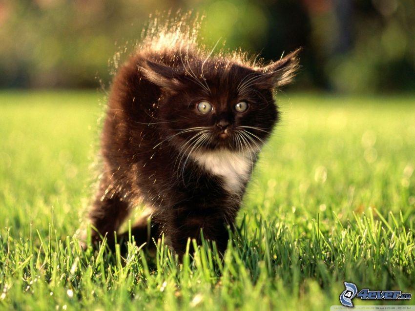 svart katt, gräsmatta