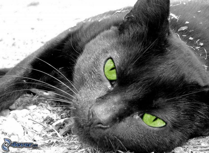 svart katt, gröna ögon