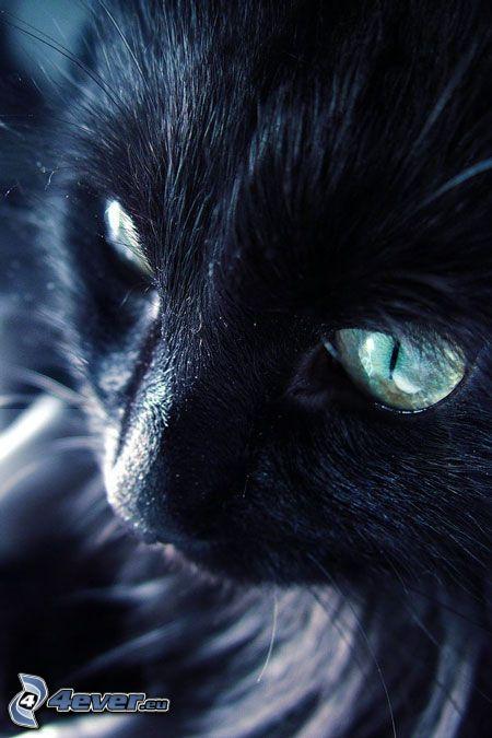 svart katt, kattansikte