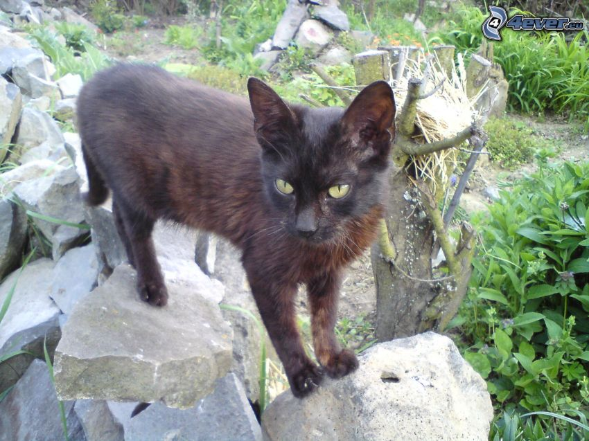 svart katt, sten