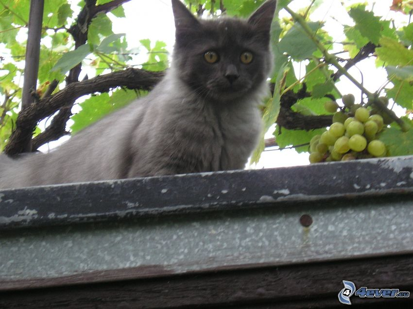 svart katt, vindruvsblad