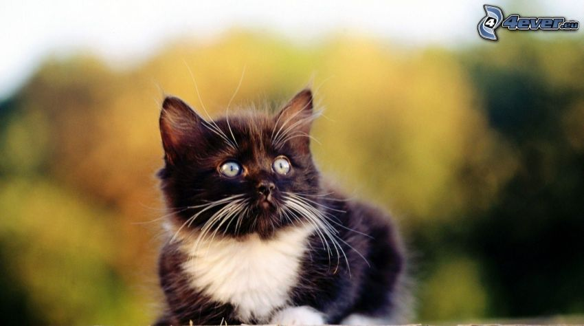 svartvit katt