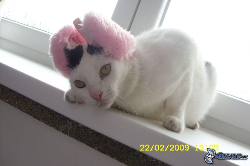 vit katt, öron, fönster
