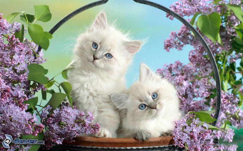 vita kattungar, katter i korg, syren