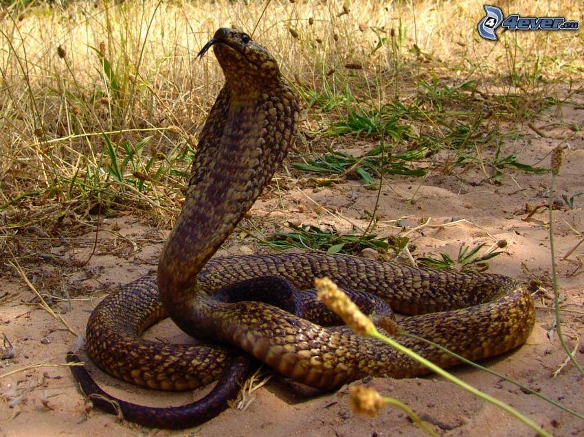 kobra, grässtrån