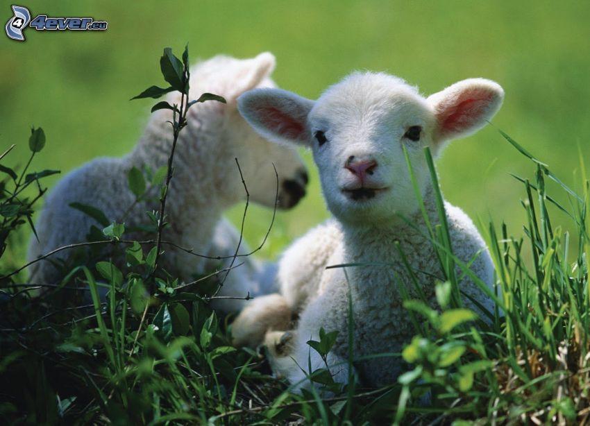 lamm, får, gräs