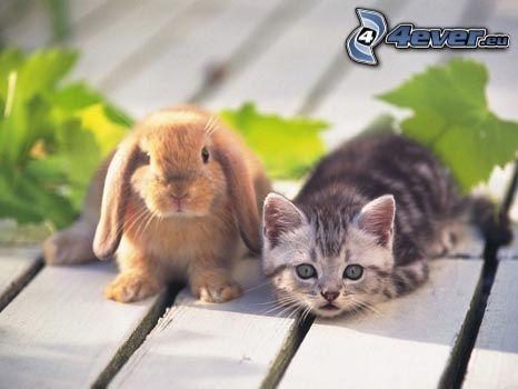 liten kanin, liten grå kattunge