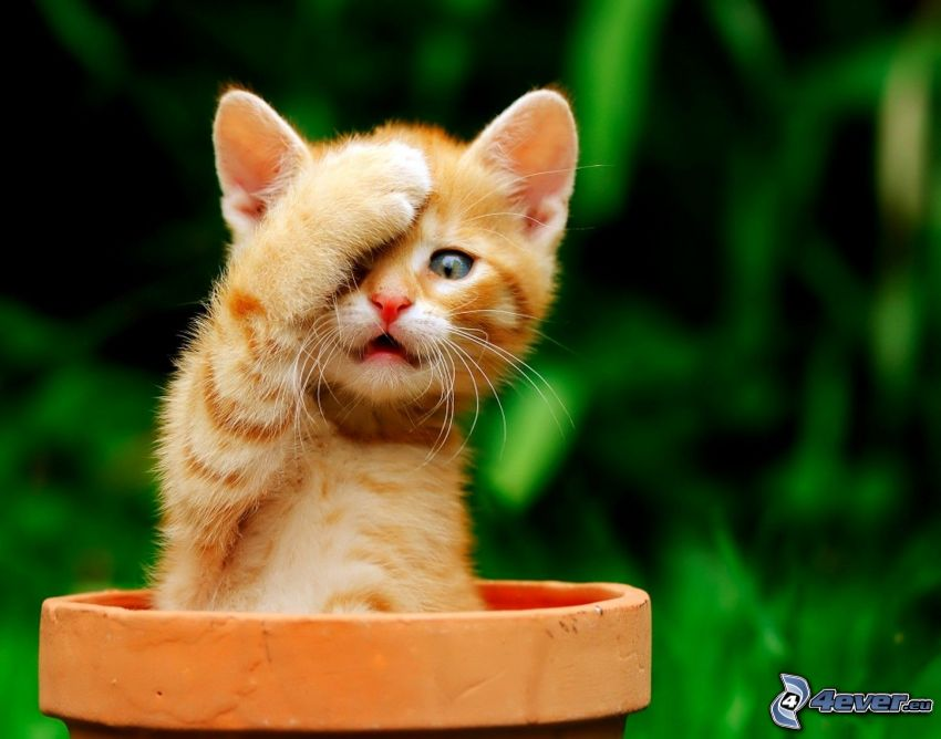 liten rödhårig kattunge