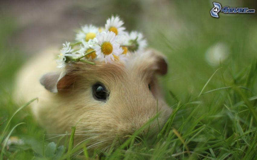 marsvin, blommor, gräs