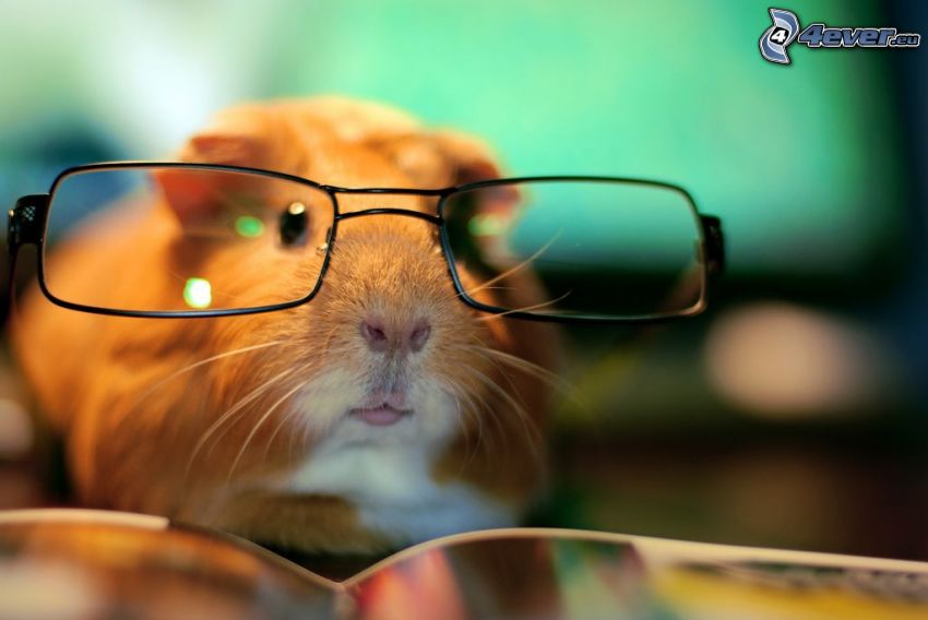 marsvin, glasögon